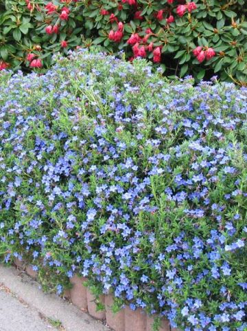 Lithodora diffusa 'Heavenly Blue' - Steenzaad, Parelzaad