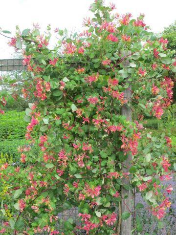 Lonicera × heckrottii 'Goldflame' - Kamperfoelie