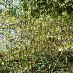 Lonicera fragrantissima - Struikkamperfoelie