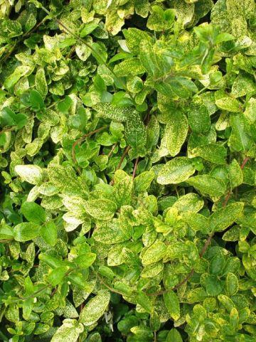 Lonicera japonica 'Aureoreticulata' - Bonte kamperfoelie