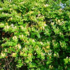 Lonicera japonica 'Halliana' - Kamperfoelie