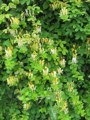 Lonicera japonica 'Hall's Prolific' - Kamperfoelie