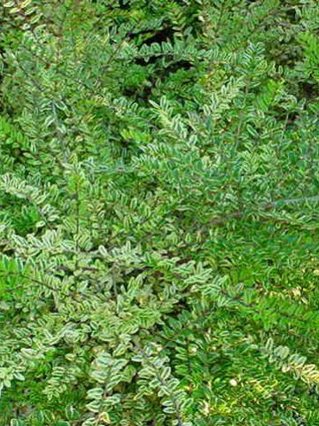 Lonicera nitida 'Lemon Beauty' - Struikkamperfoelie