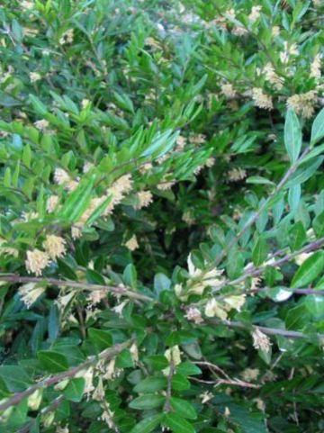 Lonicera pileata  - Struikkamperfoelie