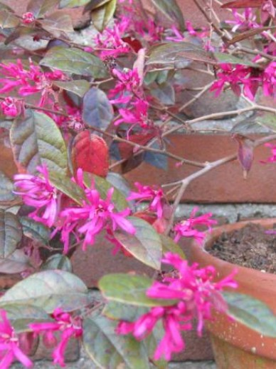 Loropetalum chinense 'Fire Dance' - Heksenstruik