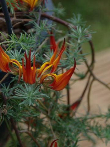 Lotus berthelotii  - Canarische rolklaver