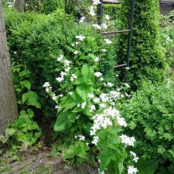 Lunaria annua 'Albiflora' - Witte judaspenning