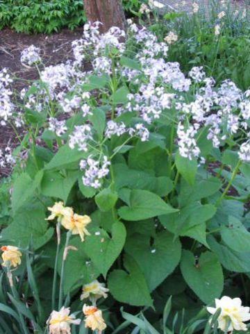 Lunaria rediviva  - Vaste judaspenning