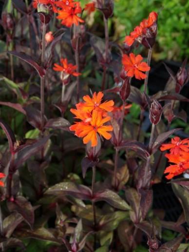Lychnis × arkwrightii 'Vesuvius' - Kooltje vuur