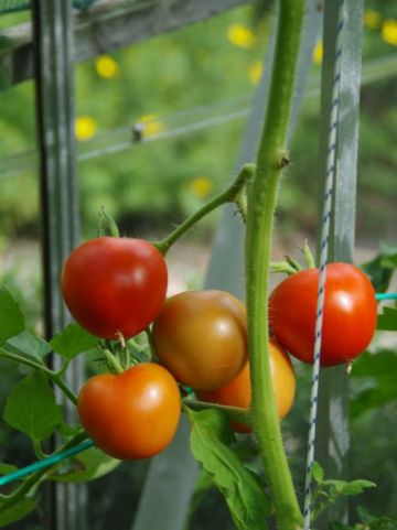 Solanum lycopersicum - Tomatenplant, tomaat