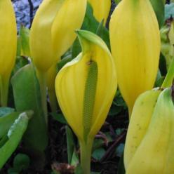 Lysichiton americanus - Moerasaronskelk