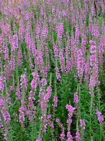 Lythrum salicaria 'Blush' - Kattestaart