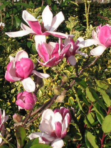 Magnolia denudata 'Fragrant Cloud' (='Dan Xin') - Beverboom