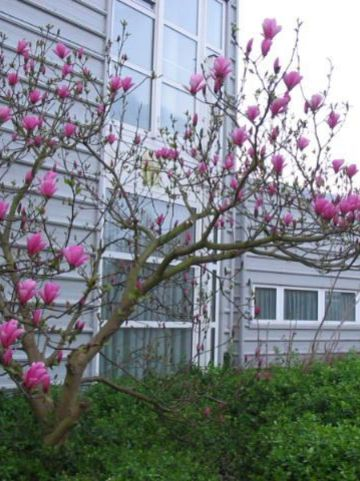 Magnolia  'Galaxy' - Beverboom , Valse tulpeboom