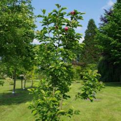 Magnolia 'Genie' - Beverboom