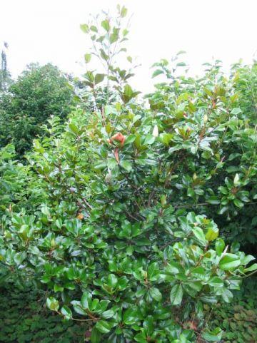 Magnolia grandiflora 'Treyvei' - Groenblijvende beverboom