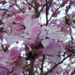 Magnolia × loebneri  'Leonard Messel' - Beverboom