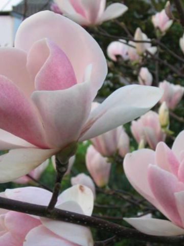 Magnolia  'Peppermint Stick' - Beverboom