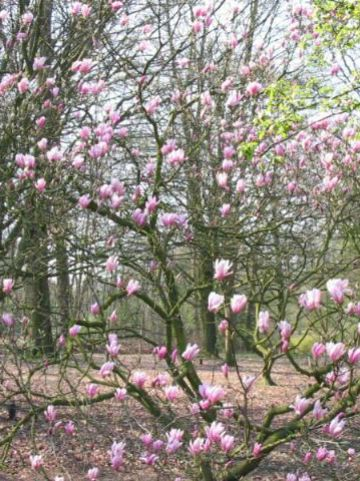 Magnolia  'Ricki' - Beverboom , Valse tulpeboom