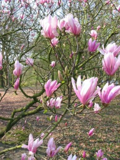 Magnolia  'Ricki' - Beverboom , Valse tulpeboom