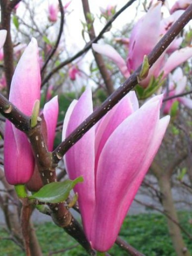 Magnolia  'Royal Crown' - Beverboom , Valse tulpeboom
