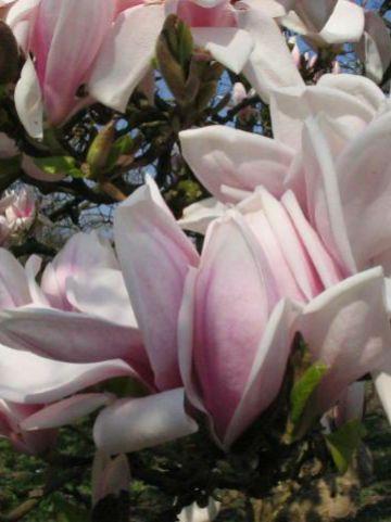 Magnolia × soulangeana  'Amabilis' - Beverboom , Valse tulpeboom
