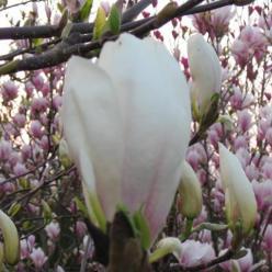 Magnolia × soulangeana  'Brozzoni' - Beverboom , Valse tulpeboom