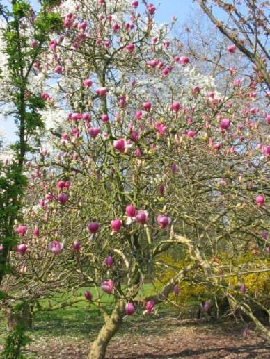 Magnolia × soulangeana  'Lennei' - Beverboom , Valse tulpeboom