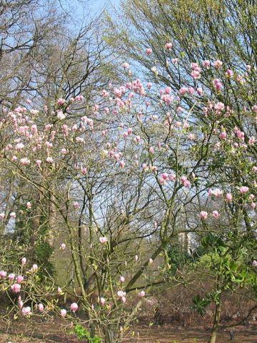 Magnolia × soulangeana  'Rustica' - Beverboom , Valse tulpeboom