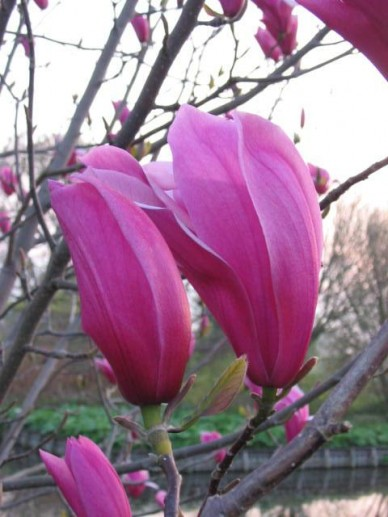 Magnolia  'Spectrum' - Valse tulpeboom