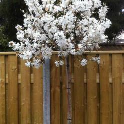 Magnolia stellata - Stermagnolia
