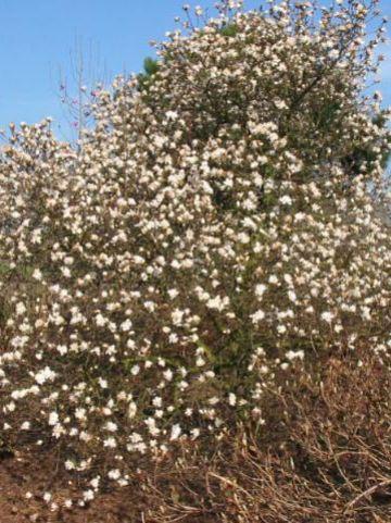 Magnolia stellata 'Chrysanthemumiflora' - Stermagnolia