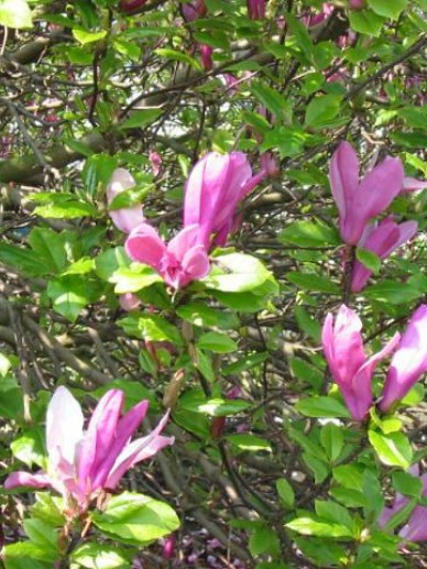 Magnolia 'Susan' - Valse tulpenboom, beverboom