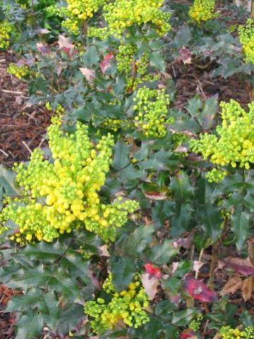 Mahonia aquifolium 'Euro' - Mahoniestruik
