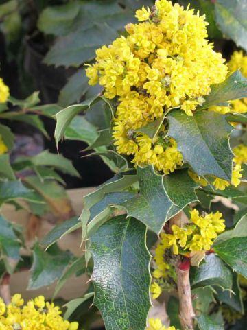 Mahonia aquifolium 'Smaragd' - Mahoniestruik