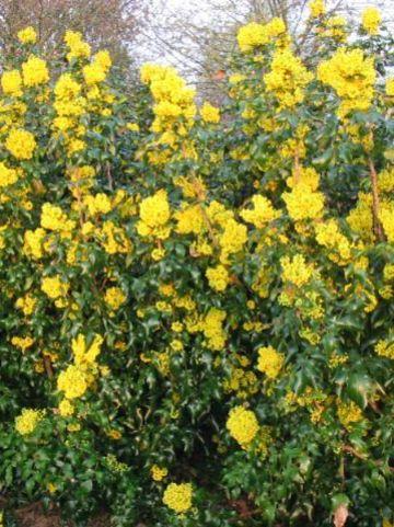 Mahonia aquifolium 'Undulata' - Mahoniestruik