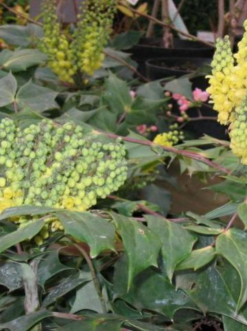 Mahonia japonica  - Mahoniestruik