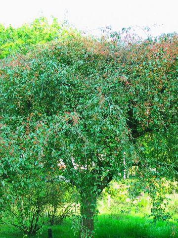 Malus baccata 'Gracilis' - Treursierappel