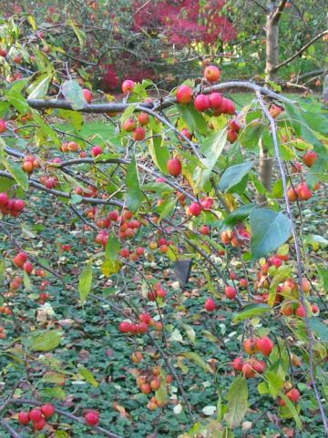 Malus  'Cheal's Weeping' - Treursierappel