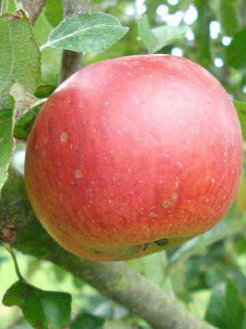 Malus domestica 'Benoni' - Appel , Handappel