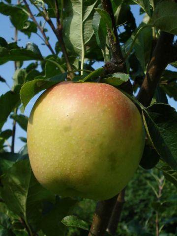 Malus domestica 'Sweet Caroline' - Zoete appel