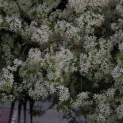 Malus floribunda  - Sierappel