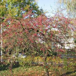 Malus  'Mary Potter' - Sierappel