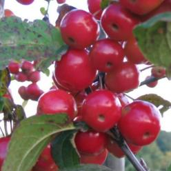 Malus 'Red Sentinel' - Sierappel