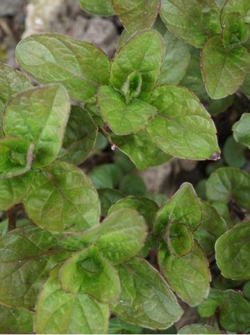 Mentha × piperita f. citrata  - Citroenmunt