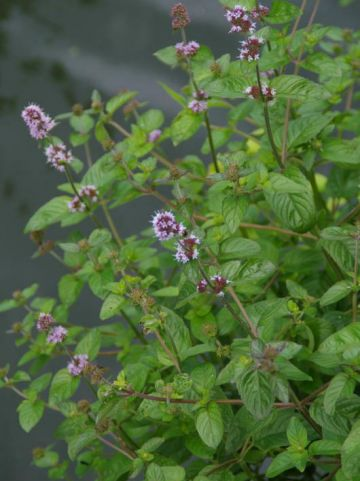 Mentha aquatica  - Watermunt
