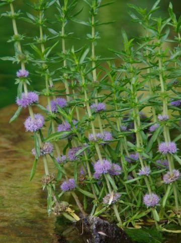 Mentha cervina  - Engelse blauwe watermunt
