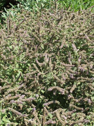 Mentha longifolia 'Buddleia' - Kaarsmunt