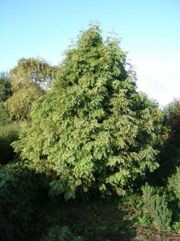 Metasequoia glyptostroboides 'Chubby' - Moerascypres