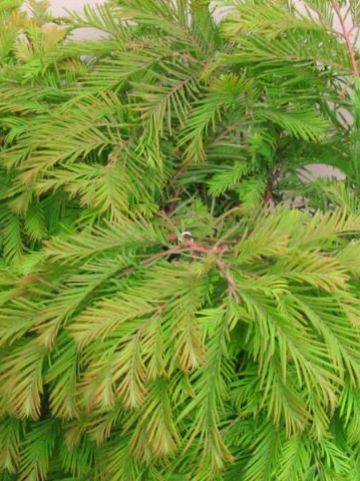 Metasequoia glyptostroboides 'Matthaei Broom' - Moerascypres
